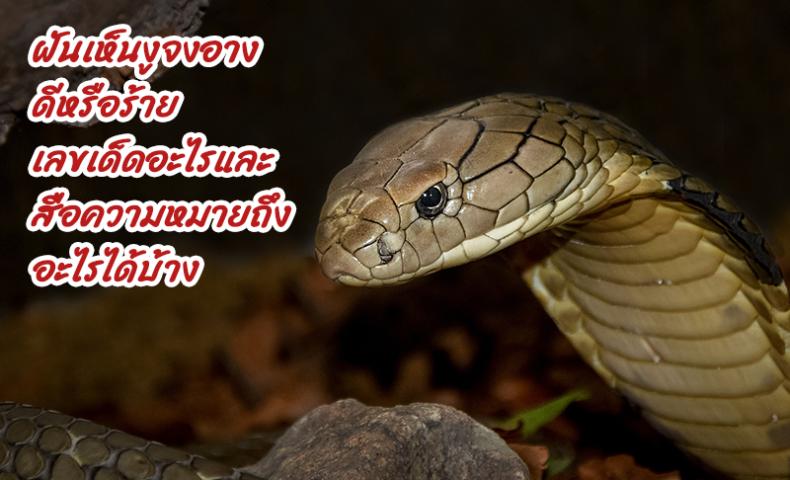 ฝันเห็นงูจงอาง ดีหรือร้าย เลขเด็ดอะไรและสื่อความหมายถึงอะไรได้บ้าง