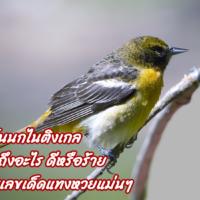 ฝันเห็นนกไนติงเกลหมายถึงอะไร ดีหรือร้าย พร้อมเลขเด็ดแทงหวยแม่นๆ